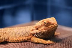 Great reptile - bearded dragon sitting on a wooden table. Great reptile - bearded dragon sitting on a wooden table and looking in the camera with vigilance stock image