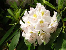 Great Rhododendron - Rhododendron maximum Royalty Free Stock Photos