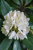 Great Rhododendron - Rhododendron maximum Stock Photos
