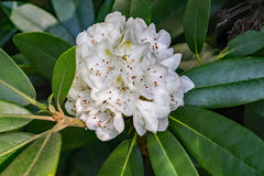 Great Rhododendron - Rhododendron maximum Stock Photo