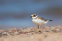 Free Great Ringed Plover Royalty Free Stock Image - 64292376