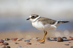 Great Ringed Plover Royalty Free Stock Photo