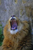 The great roar. Roaring male lion zoo of naples royalty free stock image