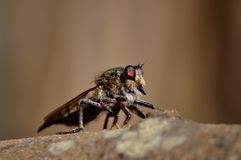 Great robber fly Stock Photography