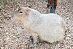 Great rodent Capybara. Capybara Hydrochoerus hydrochaeris is the largest rodent in the world Royalty Free Stock Photos