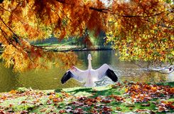 Great rose pelican preparing to fly in London park Stock Photography