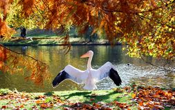 Great rose pelican preparing to fly in London park Stock Photo