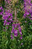 Great or rosebay willowherb, fireweed, Chamerion angustifolium, blossom close-up, selective focus, shallow DOF stock photography
