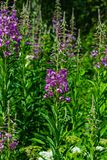 Great or rosebay willowherb or fireweed, Chamerion angustifolium, blossom close-up, selective focus, shallow DOF. Great or rosebay willowherb or fireweed royalty free stock photography