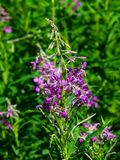 Great or rosebay willowherb or fireweed, Chamerion angustifolium, blossom close-up, selective focus, shallow DOF. Great or rosebay willowherb or fireweed royalty free stock image