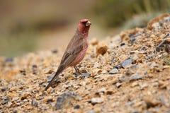 Great rosefinch, Carpodacus rubicilla Ladakh, Jammu and Kashmir, India royalty free stock photo