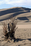 Great Sand Dunes National Park. Stunted vegetation show the extreme conditions at  Great Sand Dunes National Park in Colorado. This park is home to the tallest Stock Image
