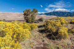 Great Sand Dunes National Park. Sand dunes in Colorado with yellow blooming flowers Royalty Free Stock Photos