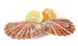 Great scallop Stock Photo