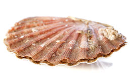 Great scallop. In front of white background royalty free stock images