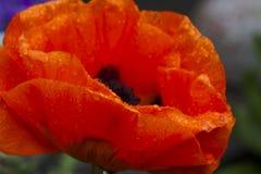 The great scarlet poppy Royalty Free Stock Photo