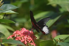 Fantastic Scarlet Swallowtail Butterfly on Brilliant Flowers royalty free stock photos