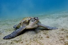 Great sea turtle on the bottom of red sea Stock Photos
