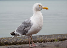 Great seagull royalty free stock photography