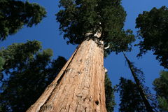 Great Sequoia Stock Images