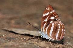 Great Sergeant butterfly Royalty Free Stock Images