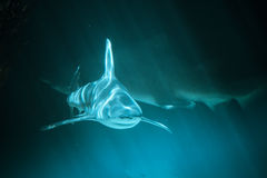 Great Shark Underwater Photo  in the deep blue water. Royalty Free Stock Image