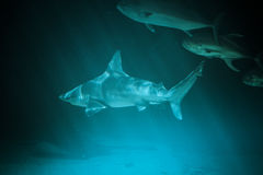Great Shark Underwater Photo  in the deep blue water. Royalty Free Stock Photos