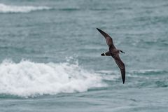 A Great Shearwater seabird in flight over the ocean. A Great Shearwater seabird, Ardenna gravis, formerly, Puffinus gravis, soaring over ocean waves. Dorset, UK Stock Photos