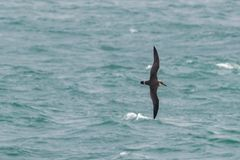 A Great Shearwater seabird in flight over the ocean. A Great Shearwater seabird Ardenna gravis, formerly Puffinus gravis, soaring over ocean waves, Dorset, UK Royalty Free Stock Photo