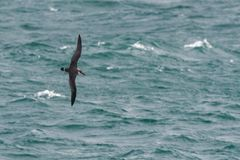 A Great Shearwater seabird in flight over the ocean. A Great Shearwater seabird Ardenna gravis, formerly Puffinus gravis, soaring over ocean waves, Dorset, UK Stock Photography