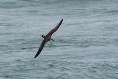 A Great Shearwater seabird in flight low over the ocean. A Great Shearwater seabird, Ardenna gravis, formerly, Puffinus gravis, soaring over ocean waves. Dorset Royalty Free Stock Photography