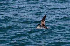 A Great Shearwater seabird in flight over the Atlantic ocean. A Great Shearwater seabird, Ardenna gravis, formerly, Puffinus gravis, flying over blue ocean Stock Photo