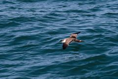 A Great Shearwater seabird in flight over the Atlantic ocean. A Great Shearwater seabird, Ardenna gravis, formerly, Puffinus gravis, flying over blue ocean Stock Photography