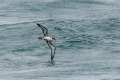 A Great Shearwater seabird in flight over the ocean. A Great Shearwater seabird, Ardenna gravis, formerly, Puffinus gravis, soaring over ocean waves. Dorset, UK Stock Image