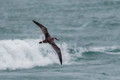 A Great Shearwater seabird in flight over the ocean. A Great Shearwater seabird, Ardenna gravis, formerly, Puffinus gravis, soaring over ocean waves. Dorset, UK Royalty Free Stock Photos
