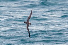 A Great Shearwater seabird in flight over the ocean. A Great Shearwater seabird Ardenna gravis, formerly Puffinus gravis, soaring over ocean waves, Dorset, UK Royalty Free Stock Photography