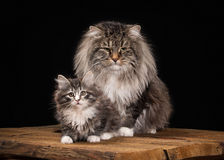Great Siberian cat on black background with wooden texture royalty free stock photo