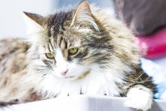 Great siberian cat, male Royalty Free Stock Photography