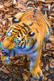 The great Siberian Tiger, a beautiful predator shows teeth, plays and poses for the camera. Taiga Royalty Free Stock Image