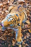 The great Siberian Tiger, a beautiful predator shows teeth, plays and poses for the camera. Taiga Royalty Free Stock Photography