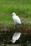 Great Egret fishing. A Great Silver Egret at fishing Stock Photos