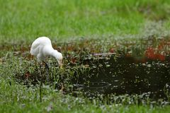 Great Egret fishing. A Great Silver Egret at fishing Stock Image