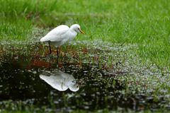 Great Egret fishing. A Great Silver Egret at fishing Stock Images