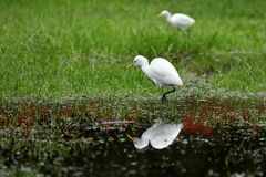 Great Egret fishing. A Great Silver Egret at fishing Stock Photo