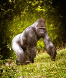 The Great Silverback royalty free stock photos