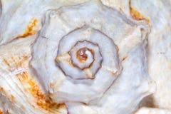 great skeleton of sea shell- macro Royalty Free Stock Image