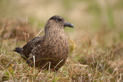Great skua Stock Image