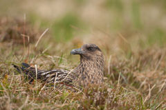 Great skua Royalty Free Stock Images