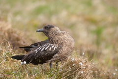 Great skua Stock Images