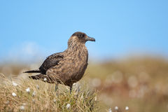 Great skua Royalty Free Stock Image